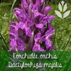 orchideecdactylorhizacmajalis