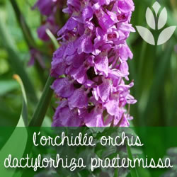 orchidee dactylorhiza praetermissa