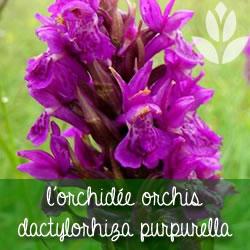 orchidee dactylorhiza purpurella