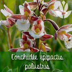 orchidée epipactis palustris