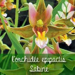 orchidée epipactis Sabine