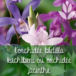 orchidée kuchibeni ou orchidée jacinthe
