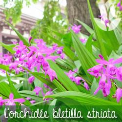 orchidée bletilla striata