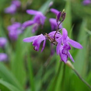 les orchidee de jardin