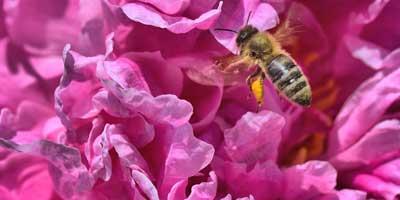 pivoine et abeille