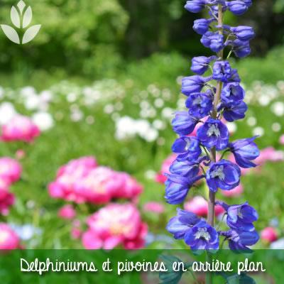 pivoines et delphiniums