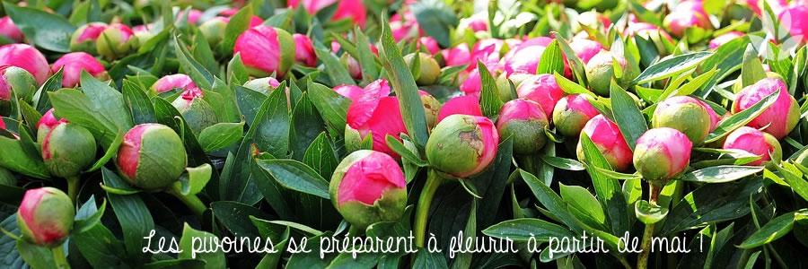 la floraison des pivoines