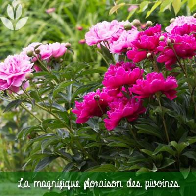 floraison des pivoines