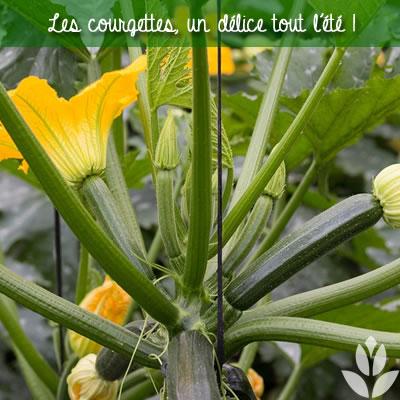 les courgettes du potager en juillet