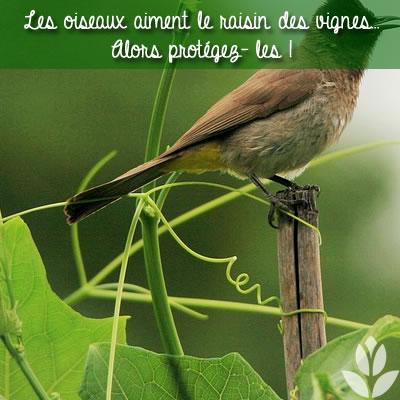 les oiseaux aiment le raisin des vignes
