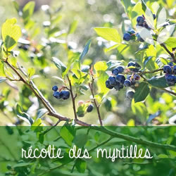 récolte des myrtilles