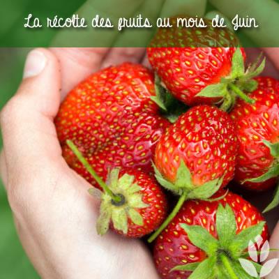 la récolte des fruitiers en juin