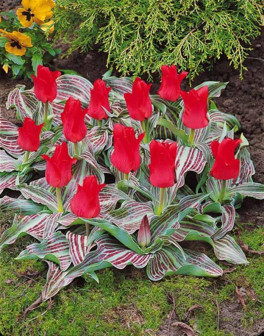 tulipe d'automne