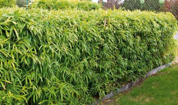 mon rideau de bambous les conseils pour votre jardin de willemse france. Black Bedroom Furniture Sets. Home Design Ideas