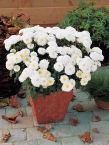 Marguerites d'automne blanches