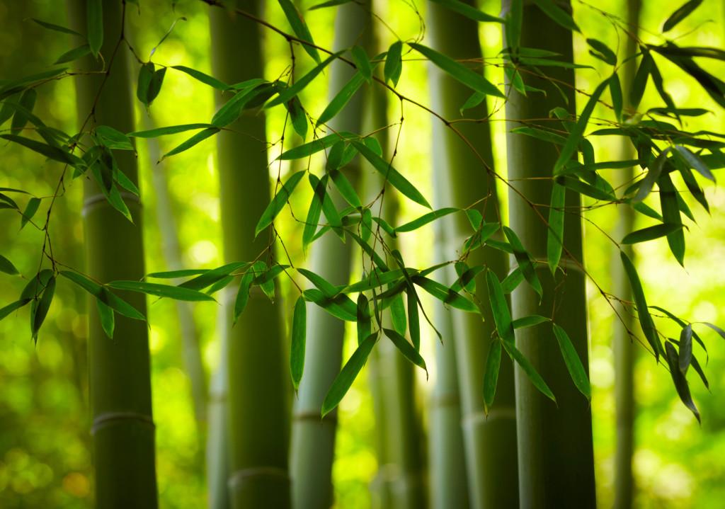 Comment planter des bambous