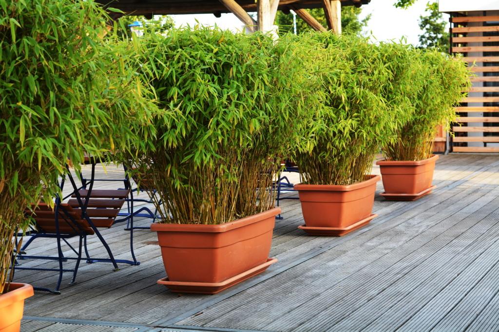 La plantation du bambou en pot