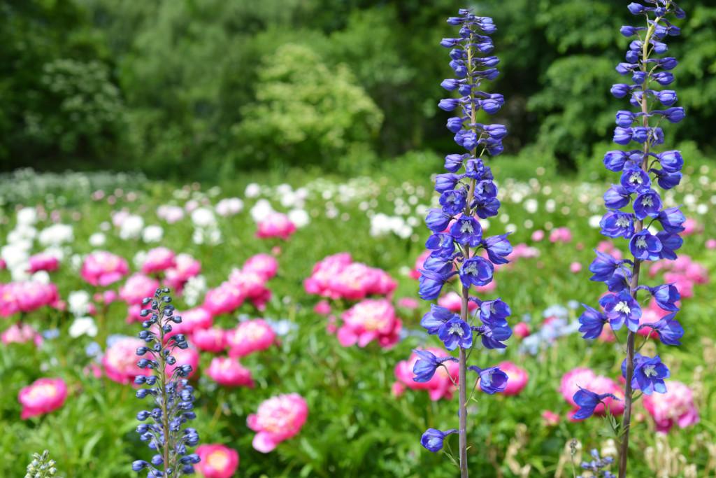 La plantation des pivoines arbustives et herbac es les for Conseil plantation jardin