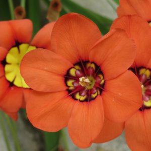 Plantes Commençant Par S Conseils Pour Votre Jardin