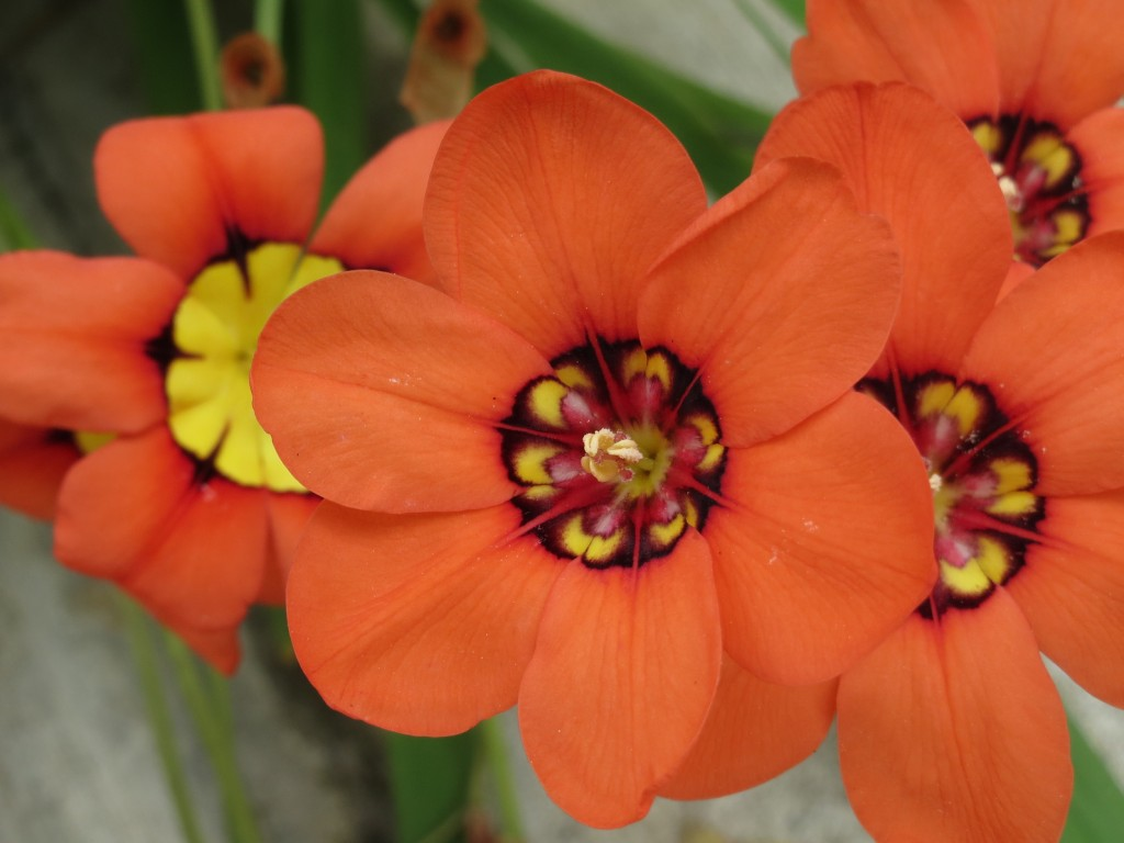 Orange Harlequin flower