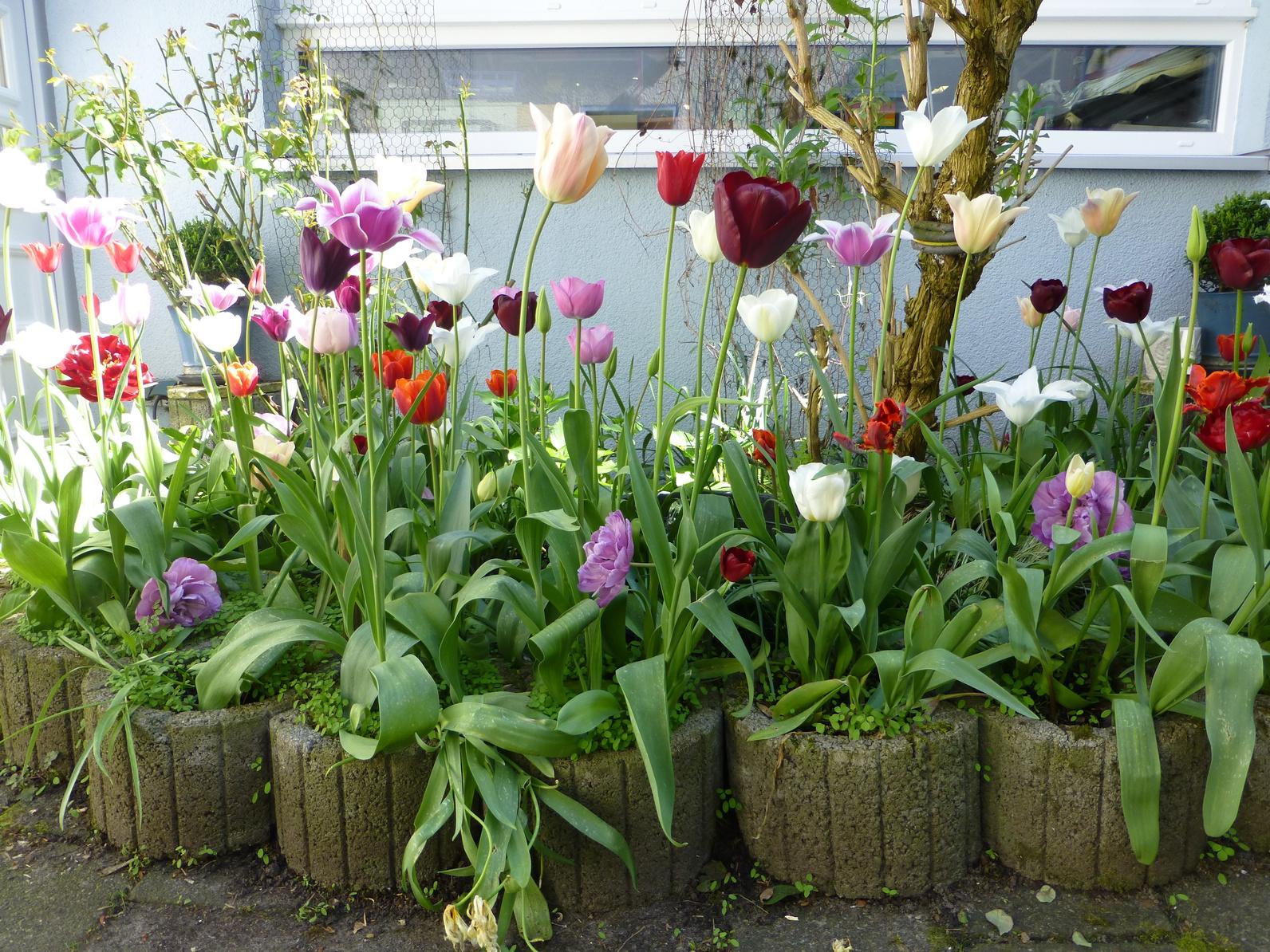 Tulipe en rocaille