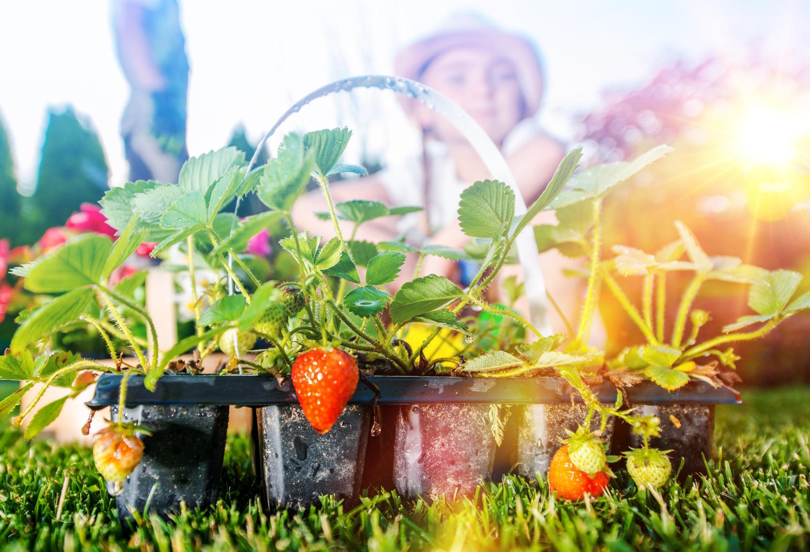 des fraises dans votre jardin ou sur votre terrasse les conseils pour votre jardin de. Black Bedroom Furniture Sets. Home Design Ideas
