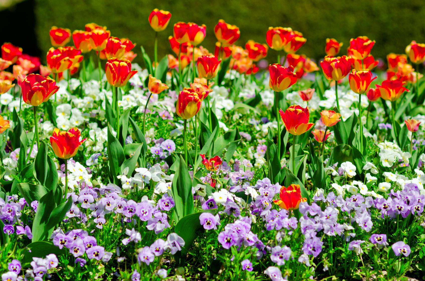 tulipe en parterre