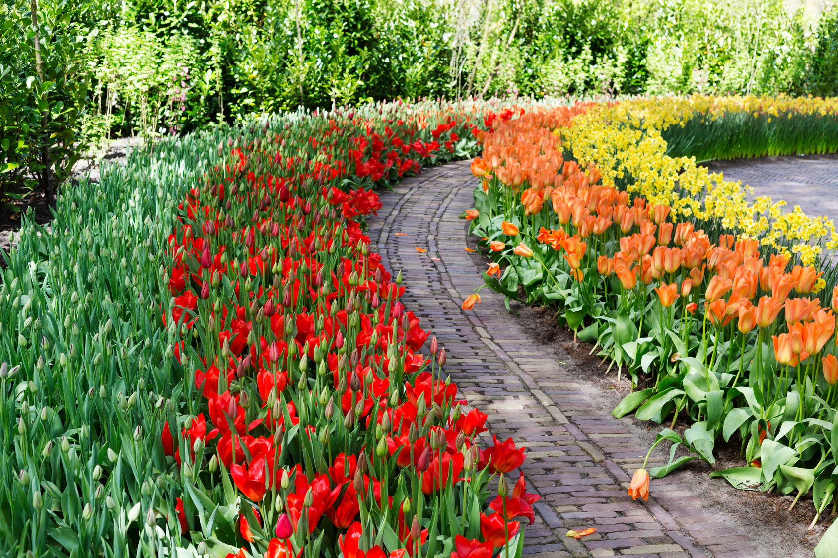 tulipe en massif