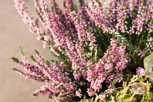 4 plantes qui fleurissent l 39 hiver au jardin les conseils pour votre jardin de willemse france - Fleurs qui fleurissent en hiver ...