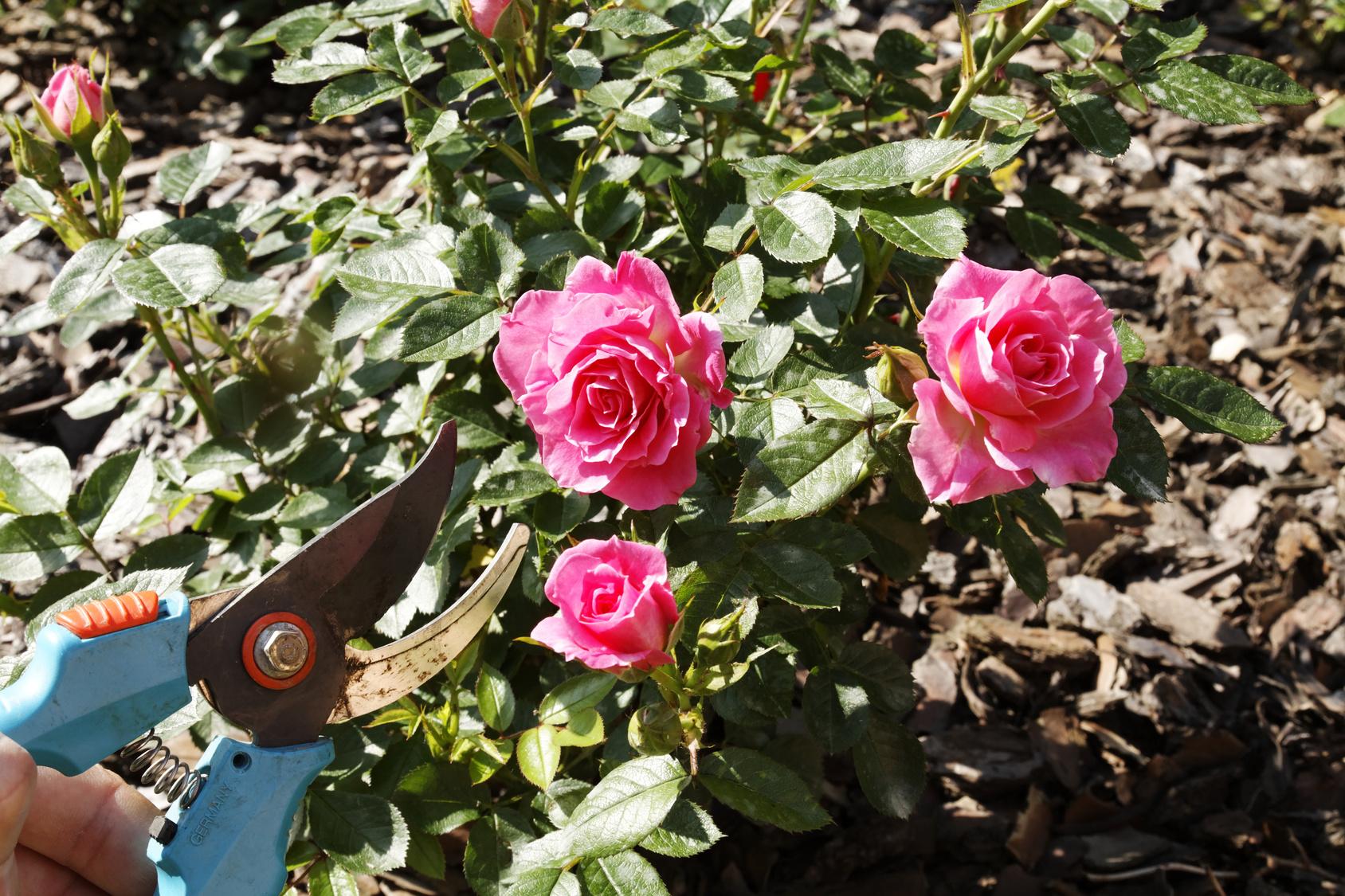 comment bien tailler et entretenir ses rosiers grimpants les conseils pour votre jardin de. Black Bedroom Furniture Sets. Home Design Ideas