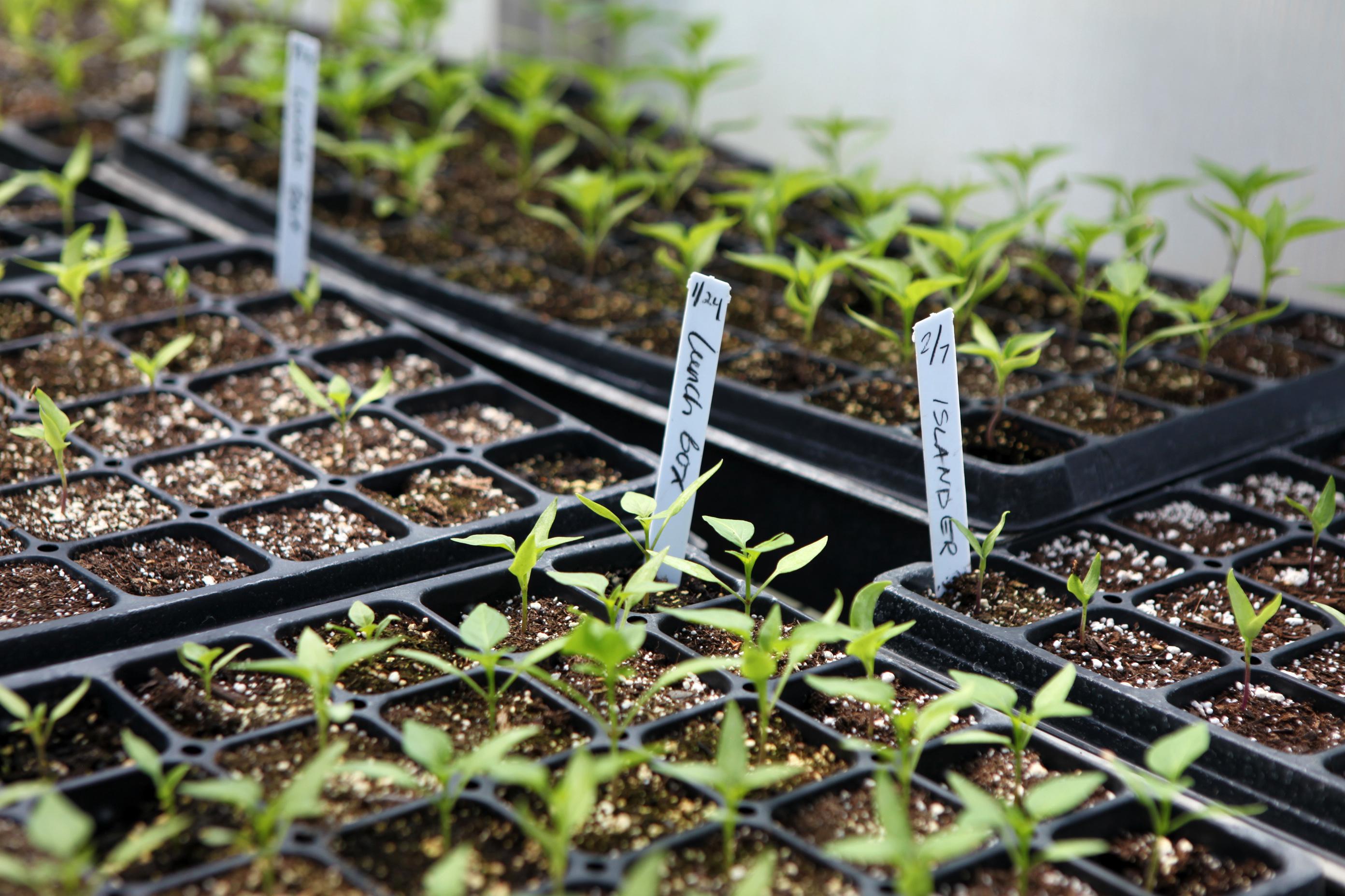 le semis de tomates et le repiquage des plants les. Black Bedroom Furniture Sets. Home Design Ideas