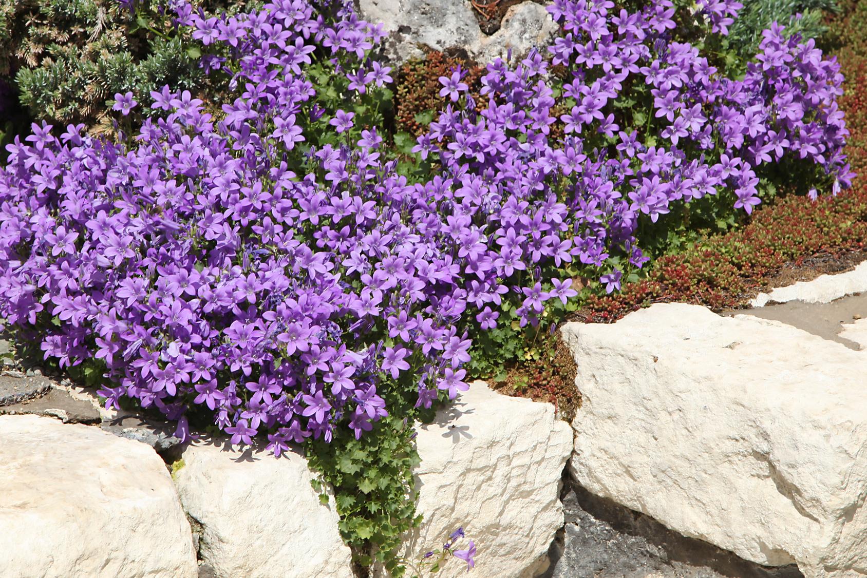 5 plantes vivaces pour faire votre choix les conseils pour votre jardin de willemse france. Black Bedroom Furniture Sets. Home Design Ideas