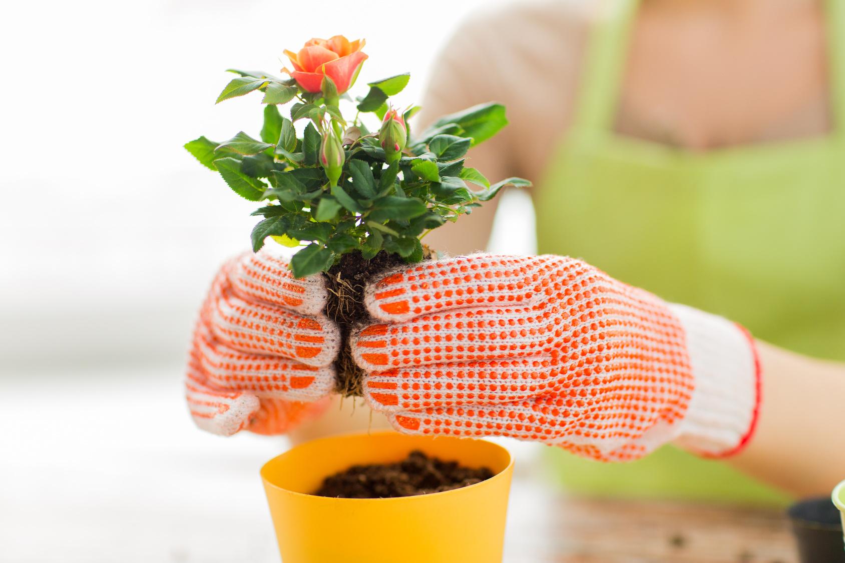 planter rosier en pot