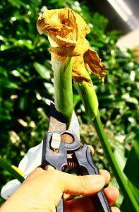 tailler les fleurs fanes au secateur