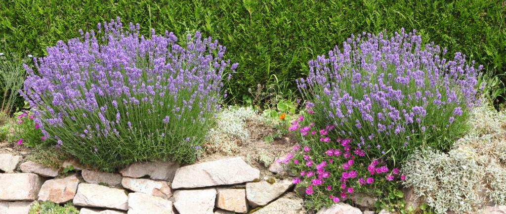Planter lavande - Comment planter des fleurs dans son jardin ...
