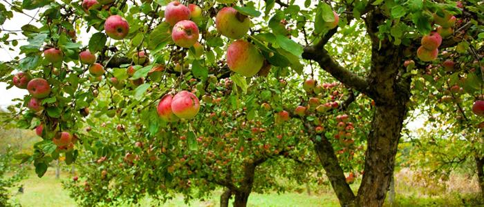 La plantation des arbres fruitiers les conseils pour votre jardin de willemse france - Plantation arbre en motte ...