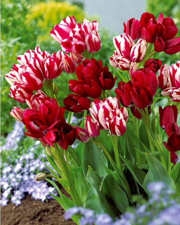 collection_de_10_tulipes_multiflores_rouges_5_fiery_club_5_flaming_club_r00510905891_0