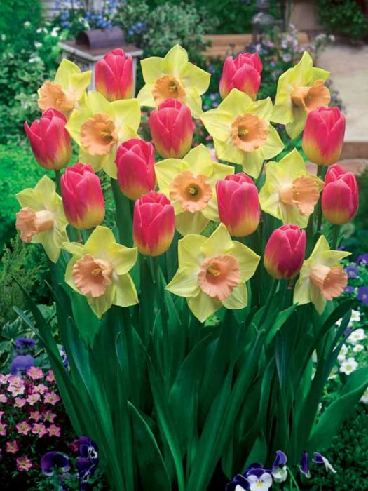 collection_tom_pouce_5_tulipes_tom_pouce_5_narcisses_tom_pouce_r00510905917_0