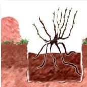 combler le trou de plantation du rosier