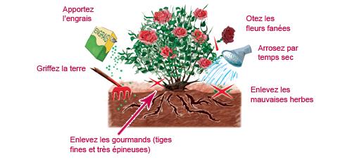 comment tailler et entretenir ses rosiers les conseils pour votre jardin de willemse france. Black Bedroom Furniture Sets. Home Design Ideas