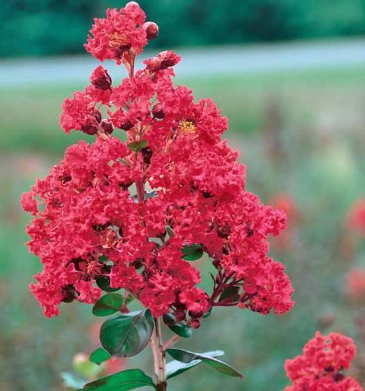 La feuille de route du lilas des indes les conseils pour votre jardin de willemse france - Lilas des indes racines ...