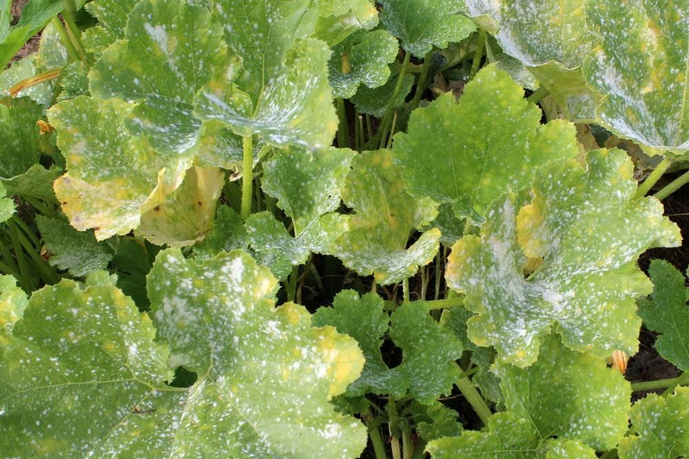 Comment en finir avec les maladies des rosiers les conseils pour votre jardin de willemse france - Feuilles de rosier qui jaunissent ...