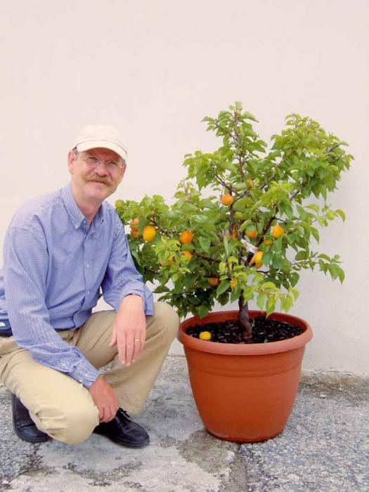 mini abricotier garden aprigold
