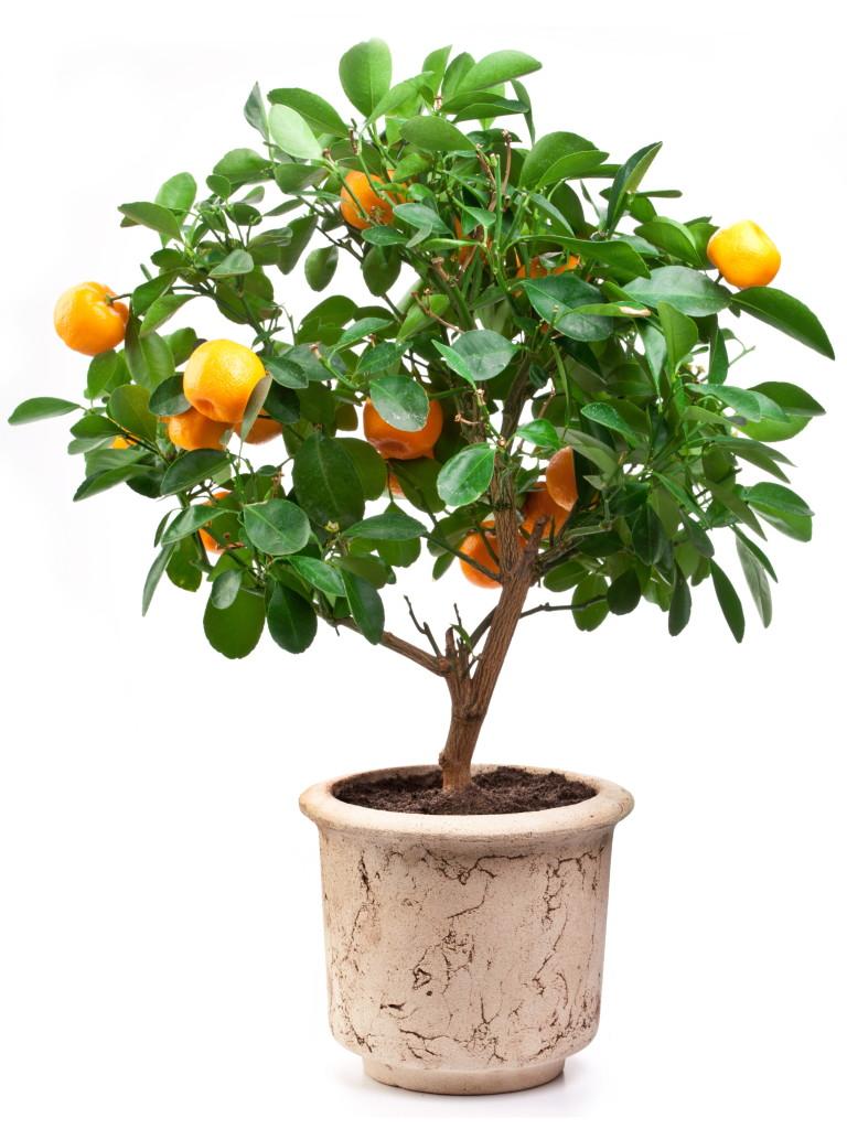 mandarinier en pot