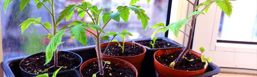 le semis de tomates et le repiquage des plants les conseils pour votre jardin de willemse france. Black Bedroom Furniture Sets. Home Design Ideas