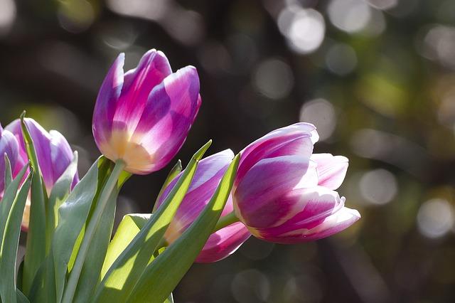 tulip-1271715_640