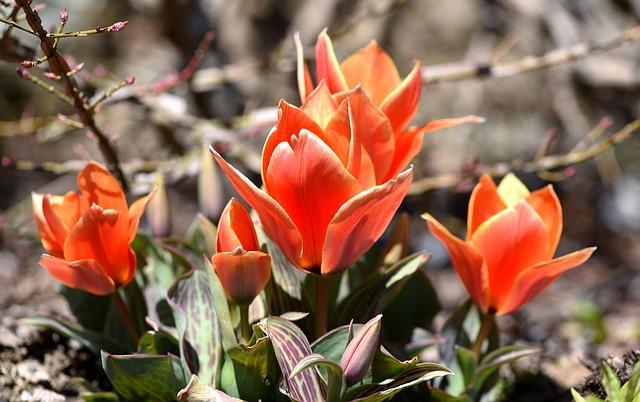tulips-713326_640