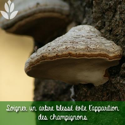 champignons sur un arbre blessé
