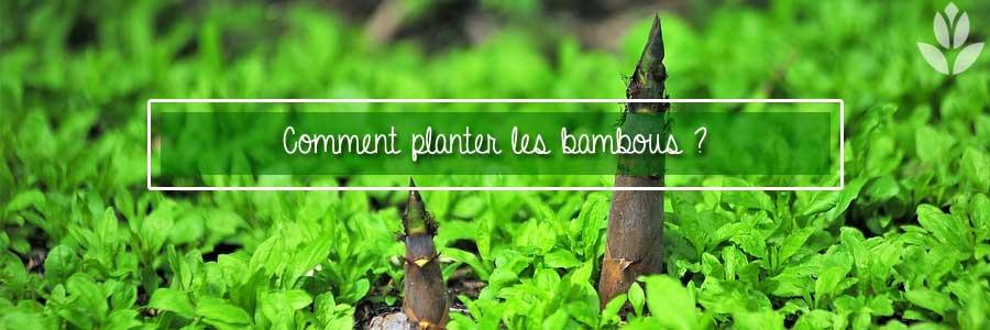 comment planter les bambous?