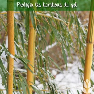protéger les bambous du gel